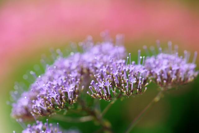 ユウギリソウ/Trachelium caeruleum