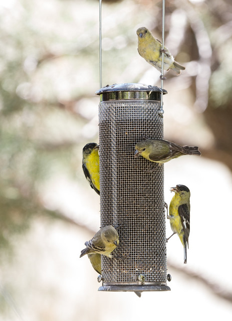 Feeder Full of Finches