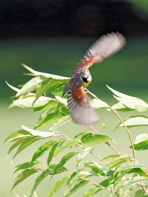 Dickcissel in flight 20140608