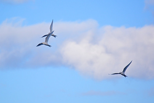 trio of terns