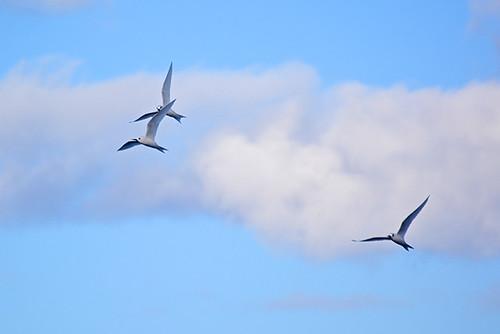 trio of terns