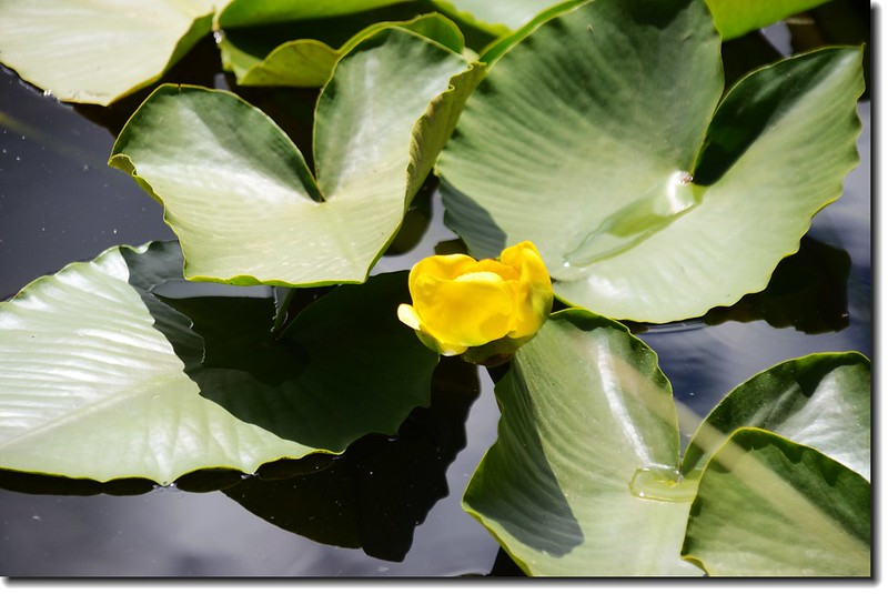 Yellow Pond Lily 5