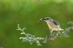 Sunbird @ Ras Al Khor Wildlife Sanctuary, Dubai, UAE