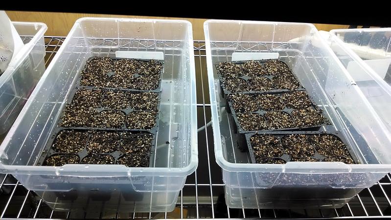 Freshly-filled seed starter trays.