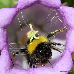 Bees and Bellflowers