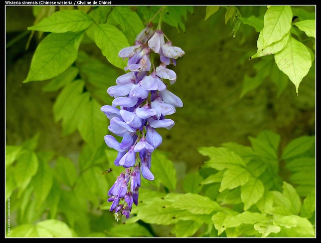 Wisteria Sinensis Definition Meaning