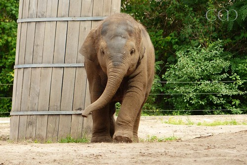 Big little elphant walking!!
