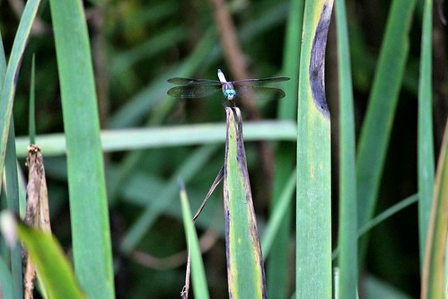 CrabAppleLane Dragonfly - June 29, 2014