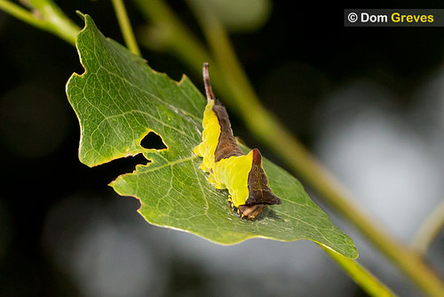 4th instar puss moth on aspen leaf
