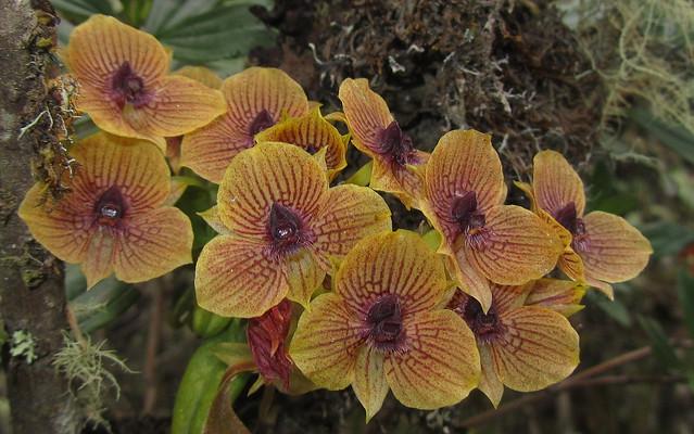 Telipogon sp. orchid - Chingaza, E Andes