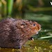 You fill up my senses ..... Water Vole