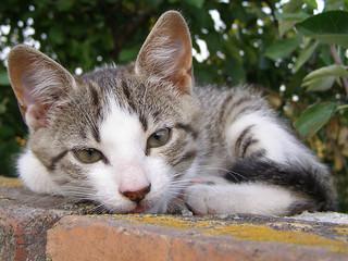 Lying Kitten
