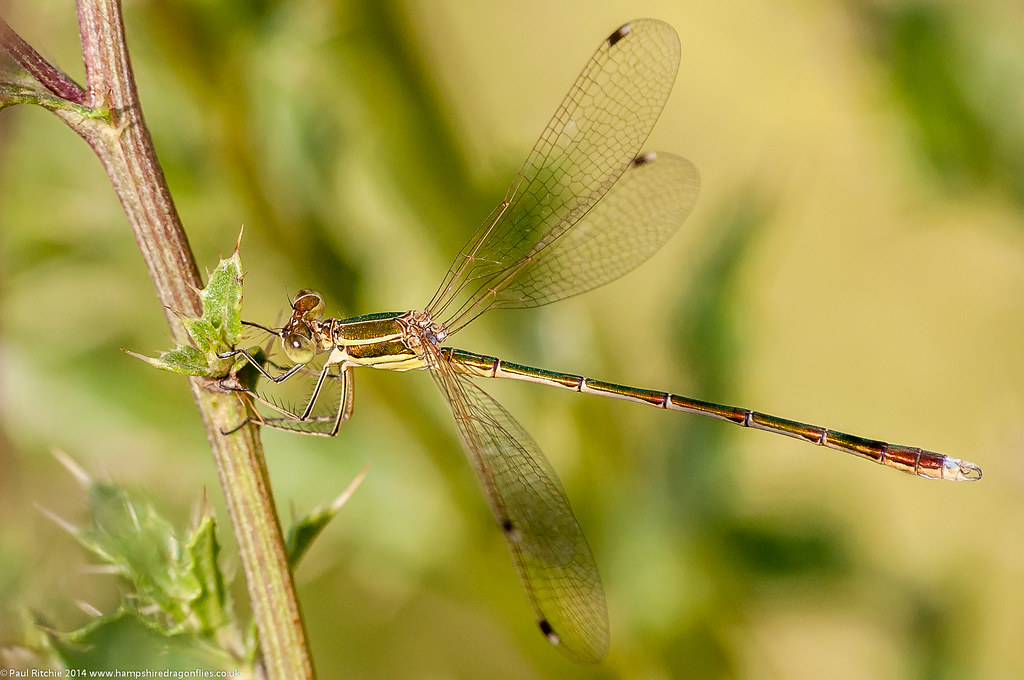 Southern Emerald (Lestes barbarus) - male