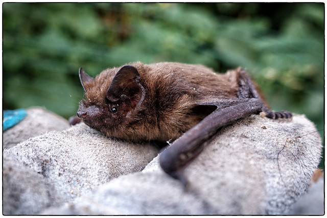 British bats: Common Pipistrelle (Pipistrellus pipistrellus)