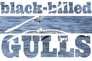 Endangered black-billed gulls at Henley Lake here in Masterton