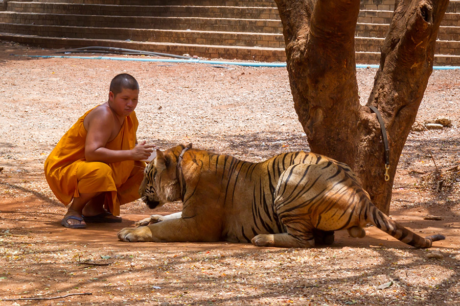Tiger Temple, Thailand