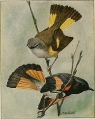 """Image from page 98 of """"The book of birds; common birds of town and country and American game birds"""" (1921)"""