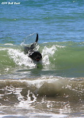 Lab Body Surfing