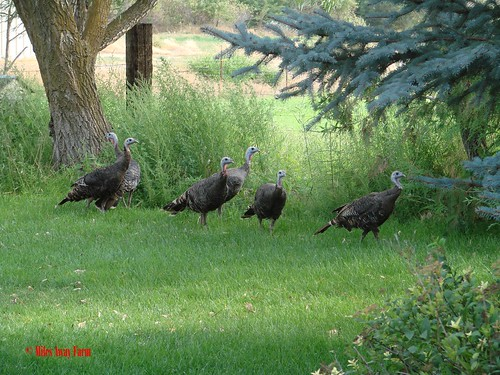 Wild Turkey Visitors