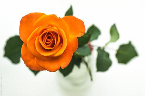 Orange Rose // 06 08 14