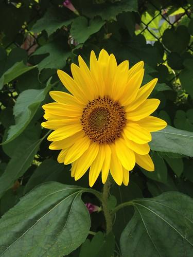 Sun flower / Tournesol