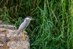 Night Heron-9