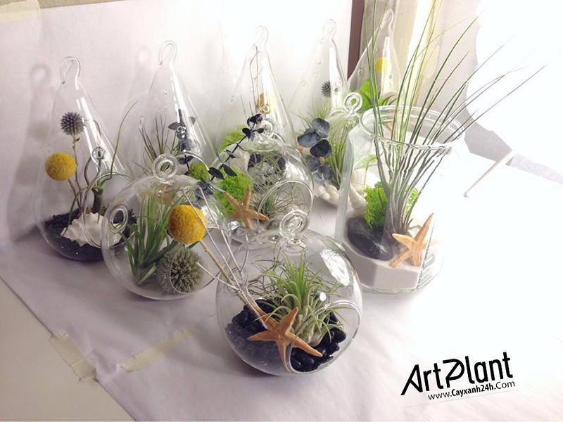 caykhongkhi24h.com   cay khong khi   tieu canh khong khi   air plant   art plant   cay canh nghe thuat