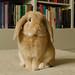 Cute bunny rabbit by Kristoffer Trolle