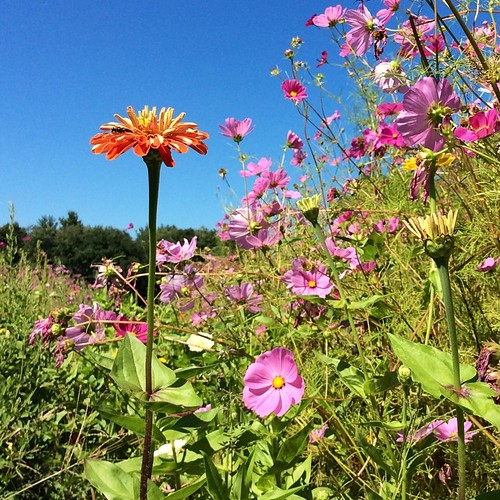 Zinnias and cosmos at the Brookfield Farm #amherst #summer #joy #westernma #lovemassachusetts