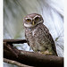 Spotted Owlet by shivanayak