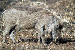 animal, wild boar, pig, fauna, pig-like mammal, warthog, wildlife,