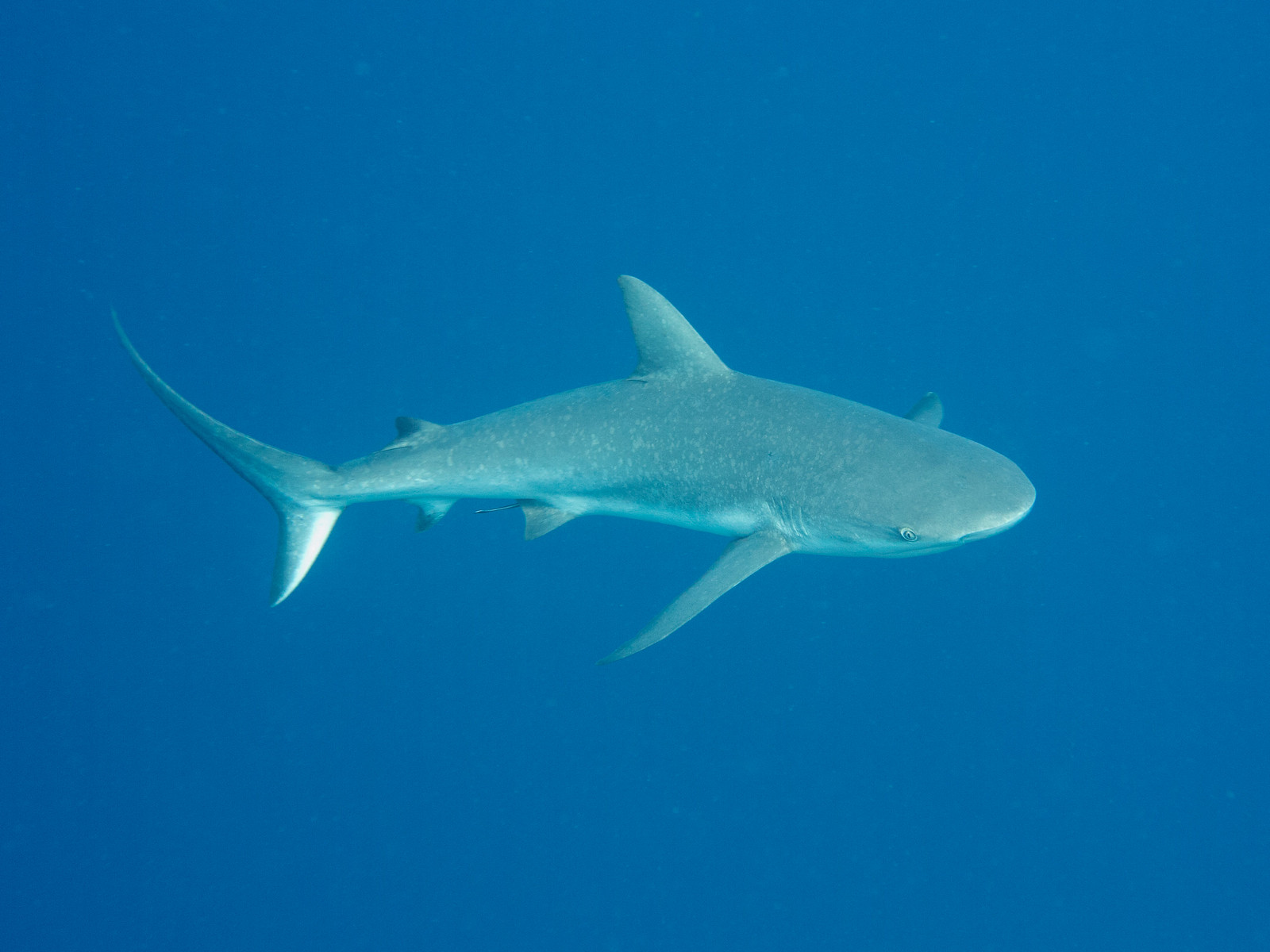 Caribbean Reef Shark, Half Moon Caye, Belize