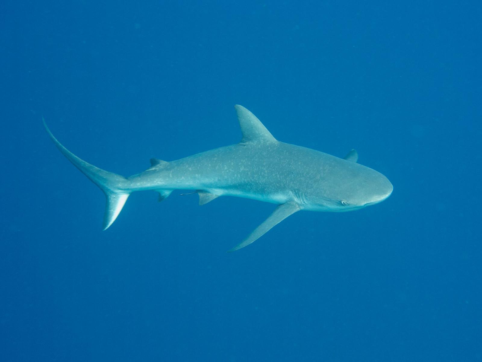 Caribbean Reef Shark, Half Moon Caye, Belize