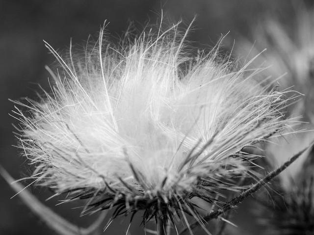 verblühte Blume / withers Flower