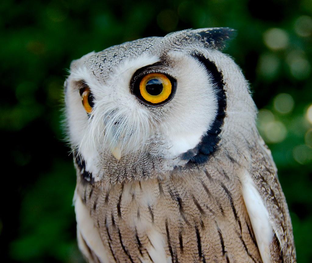 Northern White-faced Owl (Ptilopsis leucotis)_2