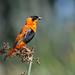 Male, Orange Bishop at San Joaquin Wildlife Sanctuary, Irvine, CA by OC Hiker
