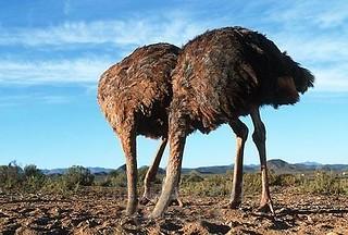 ostriches-800wi