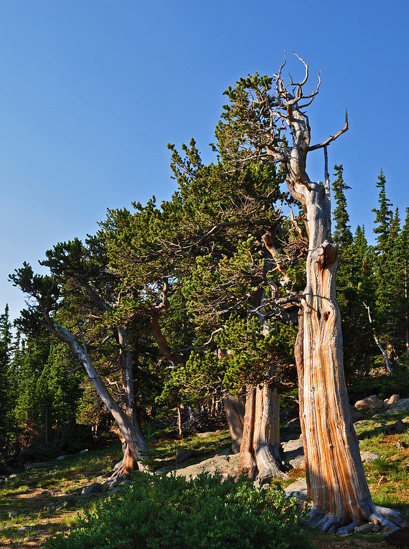 Pinus aristata - Mt. Goliath Natural Area (1)
