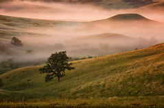 Prairie Oak and Fog at Sunrise