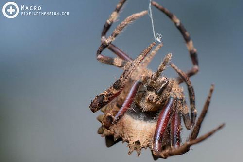 Tree-Stump Spider moulting- Poltys cf. illepidus ♀