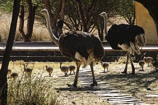 ostrich in camp