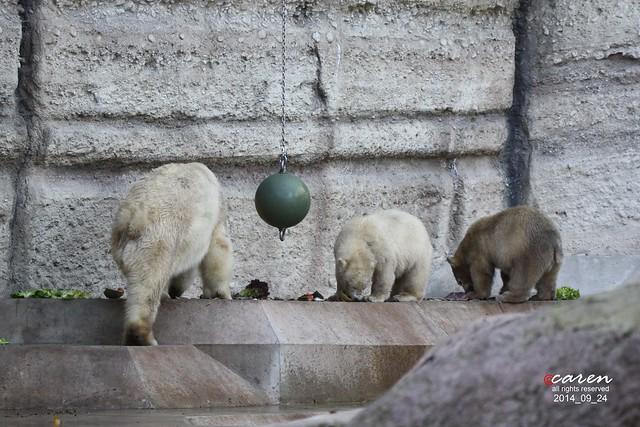 Eisbären Giovanna & Nobby 2014_09_24 049