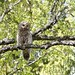 Female Ural Owl (Daniel Green)
