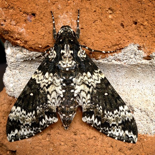 Rustic Sphinx moth up close.