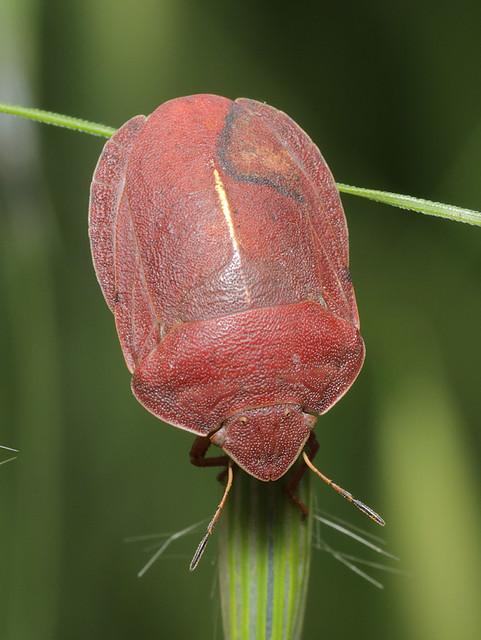 Eurygaster austriaca - osztrákpoloska
