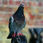 A Camden Pigeon