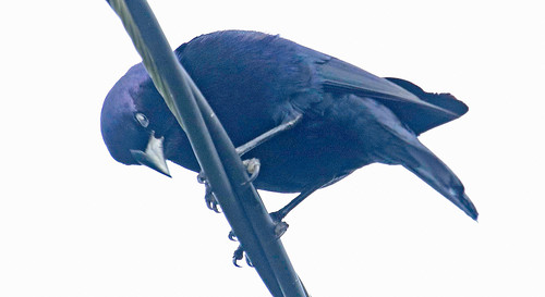 170228 2017 dives diveswarszewiczi ecuador icteridae passeriformes scrubblackbird vilcabamba bird blackbird icterid