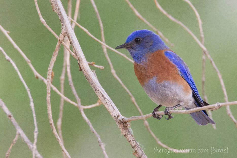 042114_LAcrestHike15_westernBluebird