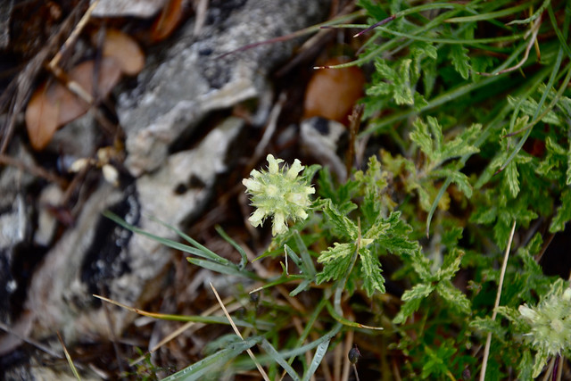Sideritis provincialis - crapaudine de Provence 14263592829_a3821dbd3a_z
