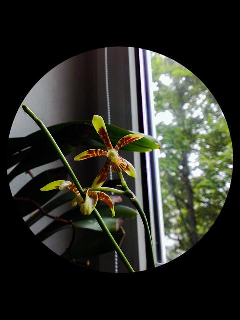 Phalaenopsis kunstleri 14512978739_b88e131a96_z